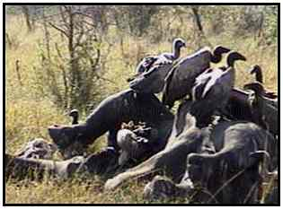 African White-Backed Vultures (Photograph Courtesy of Africam Copyright ©2000)