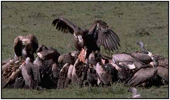 African White-Backed Vultures (Photograph Courtesy Gerald and Buff Corsi, California Academy of Sciences Copyright ©2000)