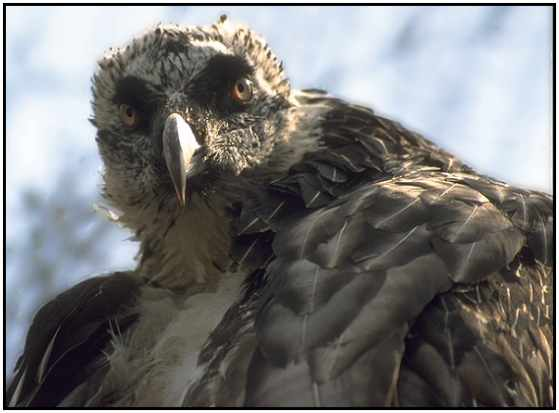 Bearded Vulture (Photograph Courtesy of Jan Branje Copyright ©2000)