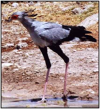 Secretary Bird ((Photograph Courtesy of Cliff Buckton (Copyright ©2000)
