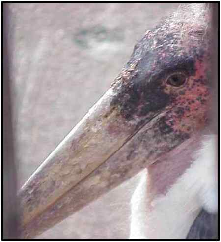 Marabou Stork (Photograph Courtesy of Sheldon Glucksman Copyright ©2000)