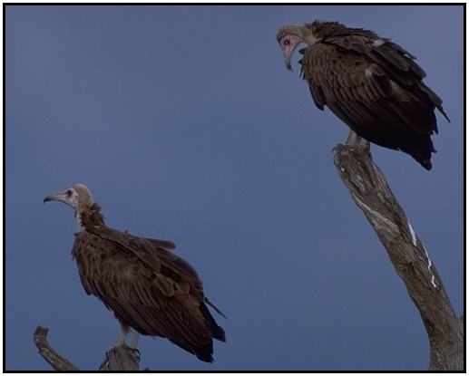 Hooded Vulture (Photograph Courtesy Gerald and Buff Corsi, California Academy of Sciences Copyright ©2000)