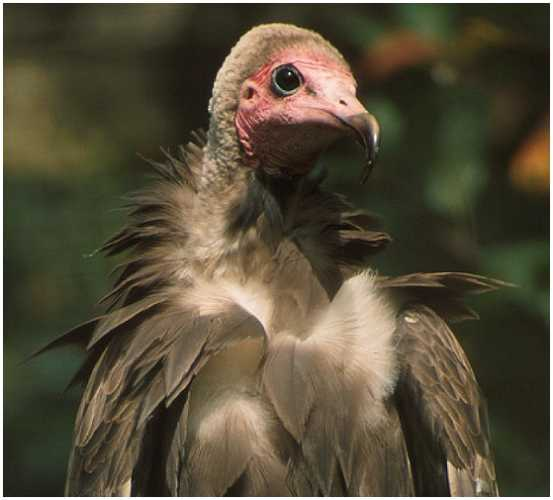 Hooded Vulture (Photograph Courtesy of Jan Branje (Copyright ©2000)
