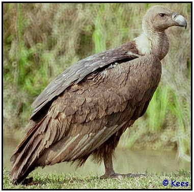 Asian White-Backed Vulture (Photograph Courtesy of Kees Bakker Copyright ©2000)