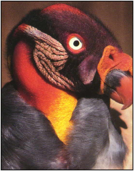 King Vulture (Photograph Copyright ©2000)