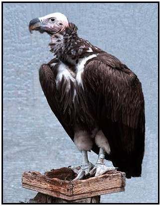 Lappet-Faced Vulture (Photograph Courtesy of Kurt Knoll Copyright ©2000)