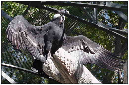 Andean Condor (Photograph Courtesy of Linda Schueller Copyright ©2000)
