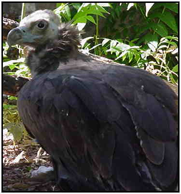 Cinereous Vulture (Photograph Courtesy of Linda Schueller Copyright ©2000)