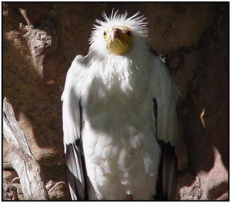 Egyptian Vulture (Photograph Courtesy of Linda Schueller Copyright ©2000)