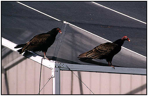 Turkey Vulture (Photograph Courtesy of Lisa Purcell ©2000)