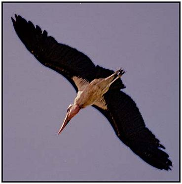 Marabou Stork in Flight (Photograph Courtesy of Ross Warner Photography Copyright ©2000)