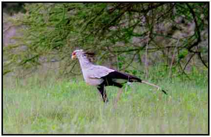 Secretary Bird (Photograph Courtesy of Ross Warner Photography Copyright ©2000)