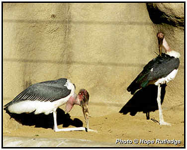 Marabou Storks (Photograph Courtesy of Hope Rutledge Copyright ©2000)