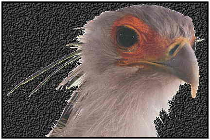 Secretary Bird (Copyright ©2000)