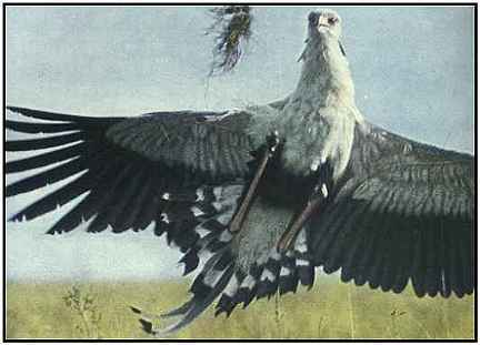 Secretary Bird (Photograph Copyright ©1969)