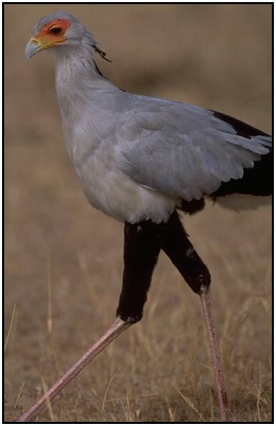 Secretary Bird (Photograph Courtesy Gerald and Buff Corsi, California Academy of Sciences Copyright ©2000)
