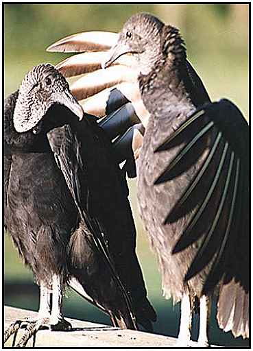 Black Vultures (Photograph Courtesy of Photohome.com Copyright ©2000)