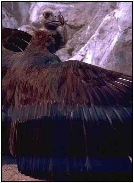Cinereous Vulture (Photograph Copyright ©2000)