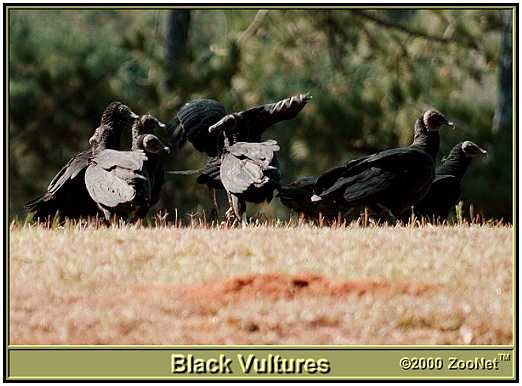 Black Vultures (Photograph Courtesy of ZooNet Copyright ©2000)